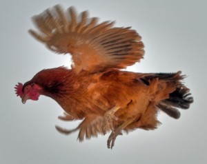 flying_chicken